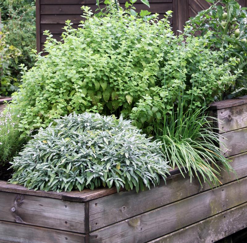 kruiden die je buiten kunt kweken